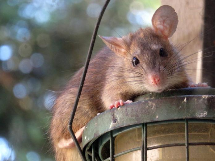 Efter den milde vinter stortrives rotter, og kloakvirksomheden Norva24 advarer mod at lade stå til trods coronavirus. Foto: PR.